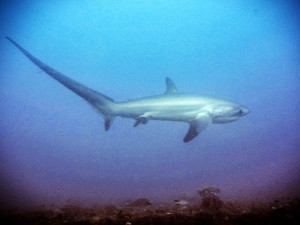 Threshershark2