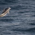 Alweer een dolfijn